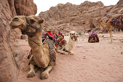 A Group Of Camels Sit Patiently Art Print