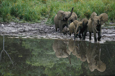Gabon Photograph - A Group Of Forest Elephants Approach by Michael Nichols