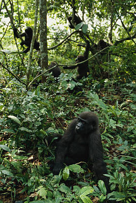 Gabon Photograph - A Group Of Gorillas In One Of Gabons by Michael Nichols