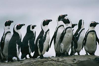 Wildlife Disasters Photograph - A Group Of Jackass Penguins Spheniscus by Chris Johns