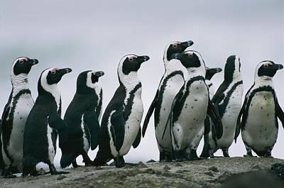 A Group Of Jackass Penguins Spheniscus Art Print by Chris Johns