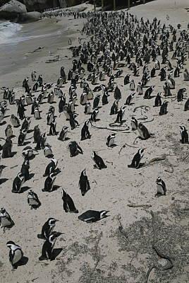 A Group Of Jackass Penguins, Spheniscus Art Print