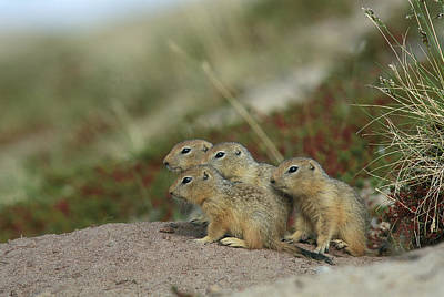 Northwest Territories Photograph - A Group Of Juvenile Arctic Ground by Norbert Rosing