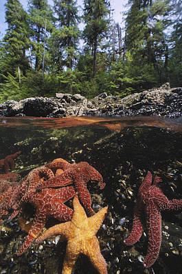 A Group Of Ochre Sea Stars Clustered Art Print