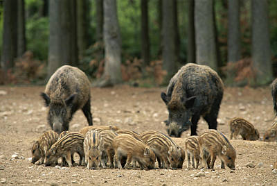 A Group Of Young Wild Boars Nose Art Print by Norbert Rosing