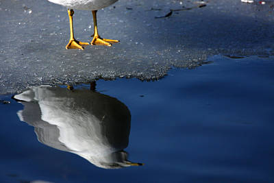 A Gull Reflects Art Print by Karol Livote