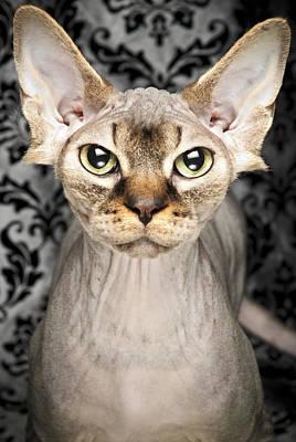Hairless Cat Photograph - A Hairless Sphynx by Chad Latta