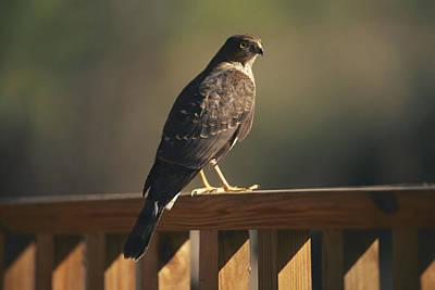 A Hawk Takes A Rest On A Porch Rail Art Print by George F. Mobley