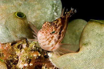 Malapascua Island Photograph - A Hawkfish Perched On The Reef by Tim Laman