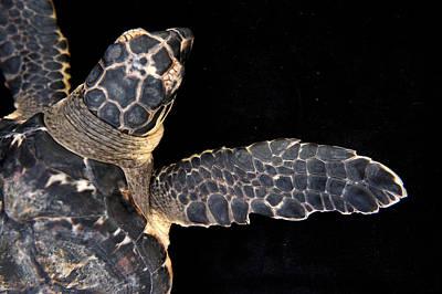 A Hawksbill Turtle, Eretmochelys Art Print by Joel Sartore