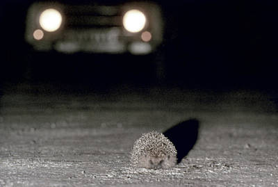 Photograph - A Hedgehog by Granger