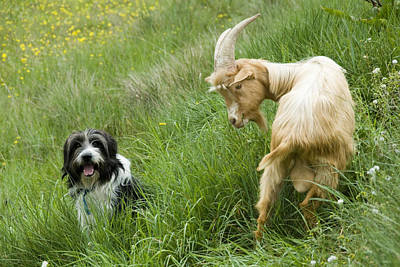Herding Dog Photograph - A Herd Dog And A Goat Next To Each by Stephen Sharnoff