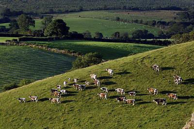 A Herd Of Cattle Graze On Rolling Green Art Print