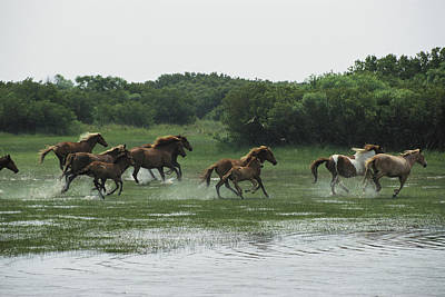 A Herd Of Chincoteague Ponies Thunder Art Print