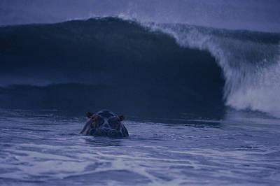 Gabon Photograph - A Hippopotamus Surfs The Waves by Michael Nichols