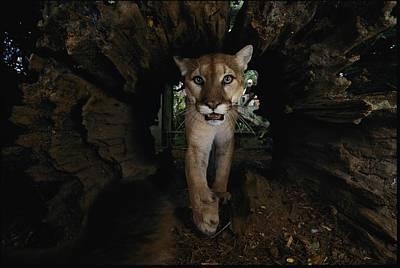 A Hissing Cougar Prowls The Louisiana Print by Michael Nichols