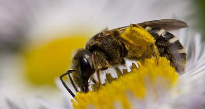 A Honey Bee Art Print