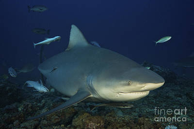 Photograph - A Huge Bull Shark With Accompanying by Terry Moore