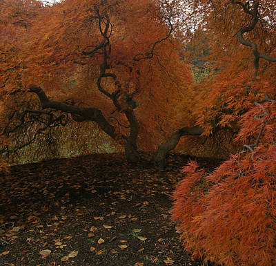 A Japanese Maple In Fall Foliage Art Print