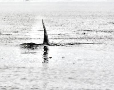 Cetacean Digital Art - A Killer Whale Approaches by Darryl Luscombe