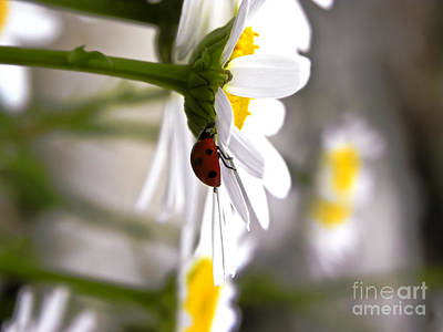 Found Round And About Photograph - A Ladybugs Daisy by Tisha  Clinkenbeard