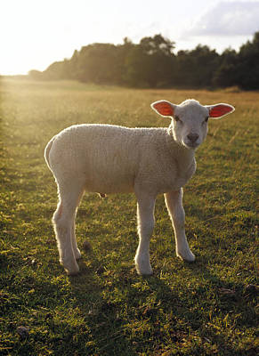 Sheep Portrait Photograph - A Lamb At The Setting Of The Sun Sweden by Elliot Elliot