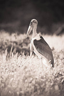 A Large Bird Stands In The Grass Art Print by David DuChemin