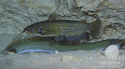 Bullheaded Photograph - A Large Brown Bullhead Catfish  Boldly by Terry Moore