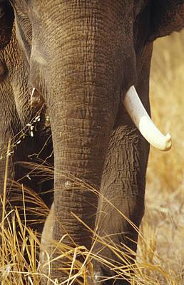 A Large Endangered Asian Elephant Bull Art Print by Jason Edwards