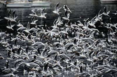 A Large Group Of Black-headed Gulls Art Print by Tim Laman