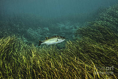 A Largemouth Bass Swims Amonst Art Print by Terry Moore