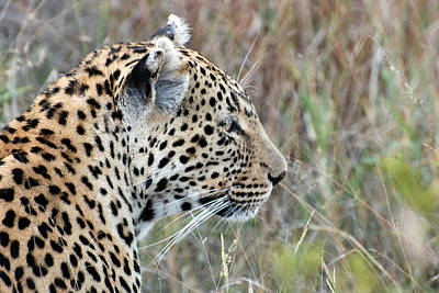 Photograph - A Leopard Roaming Sabi Sabi by Harvey Barrison