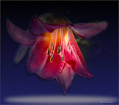 A Lily To Light Up Your Evening Art Print by Heinz G Mielke