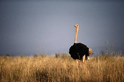 Ostrich Photograph - A Lone Ostrich Struthio Camelus by Tim Laman