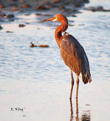 Photograph - A Lone Reddish Egret by Roena King
