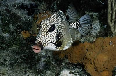 Trunkfish Wall Art - Photograph - A Lone Smooth Trunkfish Lactophrys by Wolcott Henry