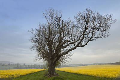 A Lone Tree On The Edge Of A Yellow Art Print by John Short