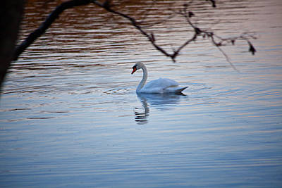 A Lonely Swans Late Afternoon Art Print by Karol Livote