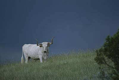 A Longhorn Steer, One Member Of A Small Art Print by Michael Melford