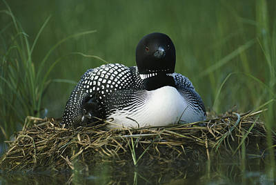 A Loon Shelters A Chick Under Its Wing Art Print