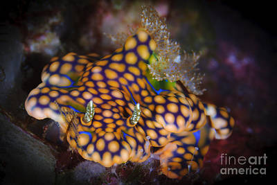 Photograph - A Magnificent Ceratosoma Nudibranch by Steve Jones