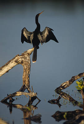 Anhinga Wall Art - Photograph - A Male Anhinga Perches On A Tree Stump by Klaus Nigge