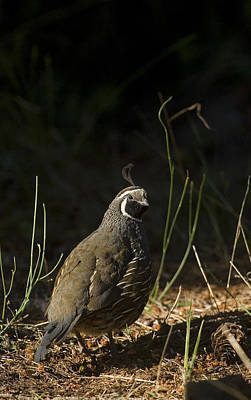 A Male California Quail Stands Art Print by Taylor S. Kennedy
