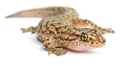 A Marble Gecko Sits In Studio Striking Art Print by Brooke Whatnall