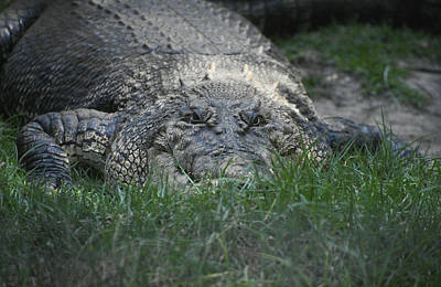 Perth Zoo Photograph - A Massive Saltwater Crocodile Waits by Jason Edwards