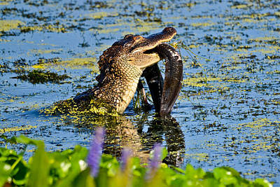A Meal Fit For A Gator Art Print by Julio n Brenda JnB