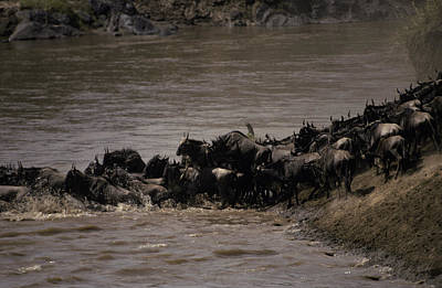 Frenzy Photograph - A Migrating Wildebeeste Herd Stampedes by Jason Edwards