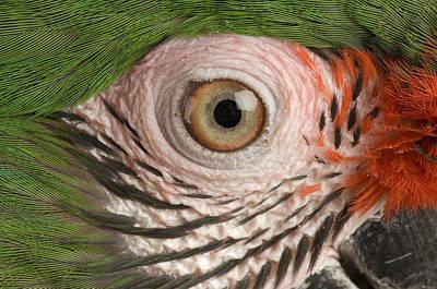 A Military Macaw Ara Ambiguus Art Print by Joel Sartore