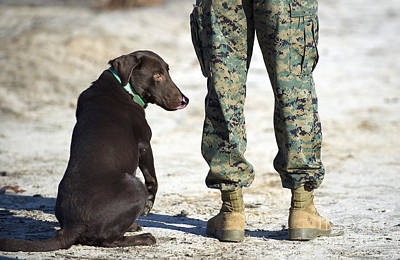 Photograph - A Military Working Dog Waits by Stocktrek Images