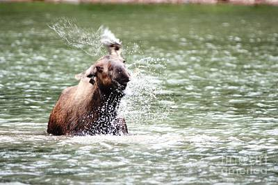 Moose Photograph - A Moose Shake by Dave Knoll